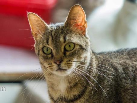 Les principales maladies virales du chat