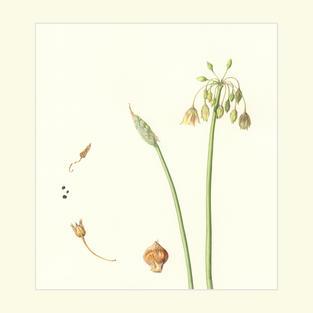 Honey Sicillian Garlic