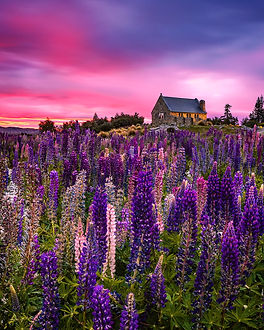 The Church of the Good Shepherd lupins