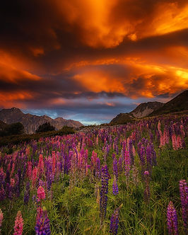 Mt Cook lupins