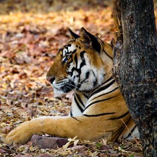 Tiger - Van Vihar, Bhopal