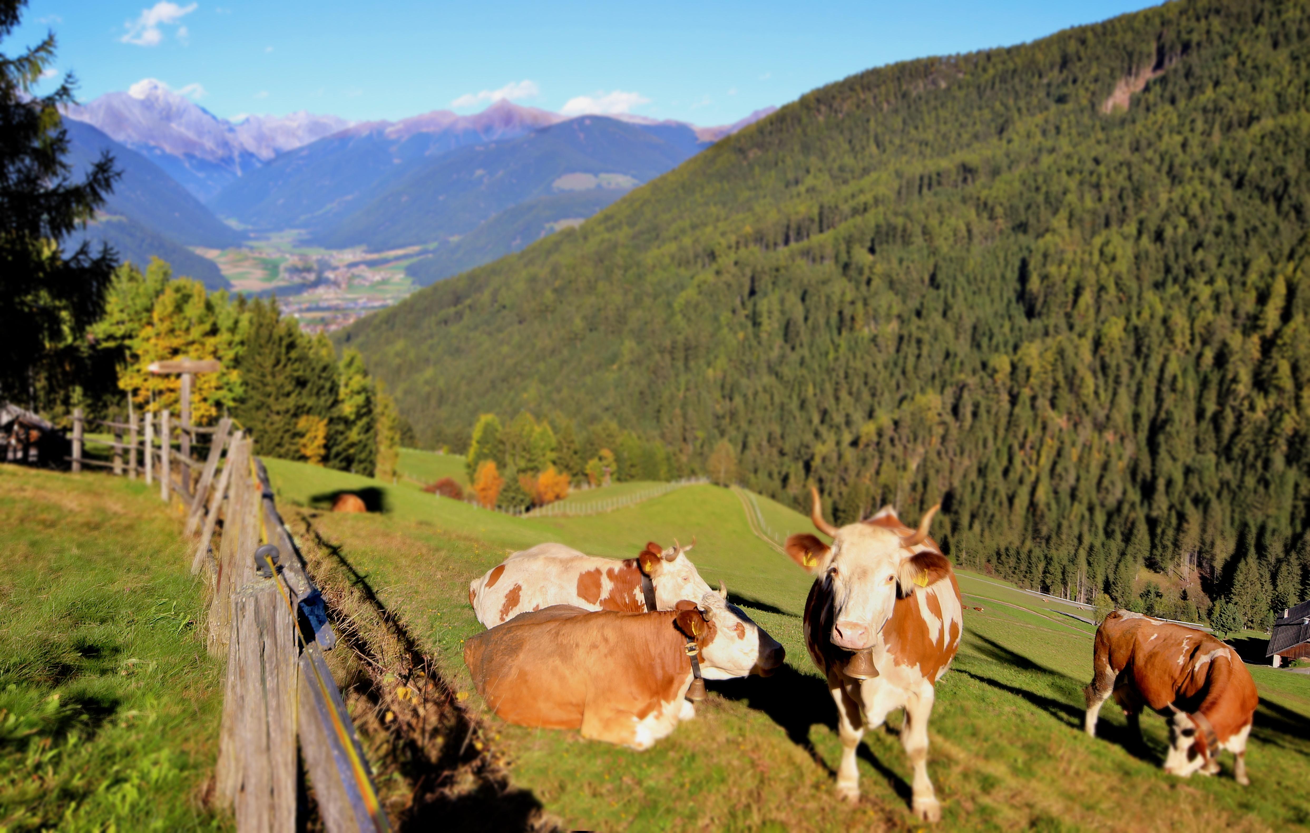 Residenz Erschbaum Kühe