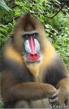 Sharon Kessler, Gabon, mandrill, CIRMF, disease signal, primate, anthropolog, primatology, biology