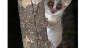Mouse lemurs use partially ultrasonic vocalizations to recognize patrilineal kin
