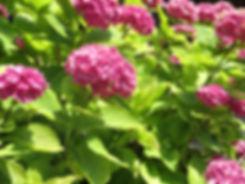 fond-hortensias.jpg
