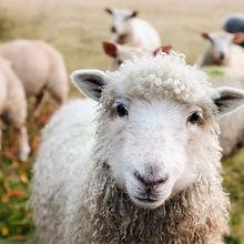 Web Sheep.jpg