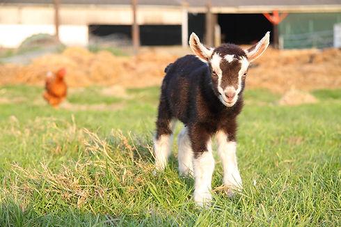 goat_2403566_1920.jpg