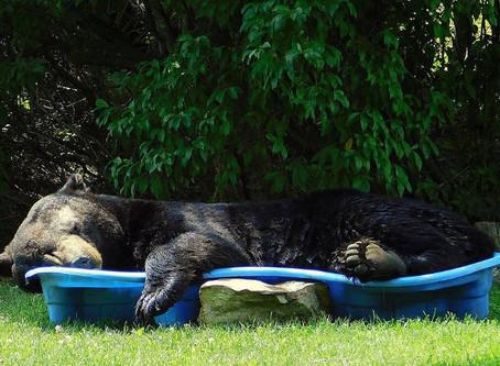 Esce in giardino e trova l'orso appisolato in piscina