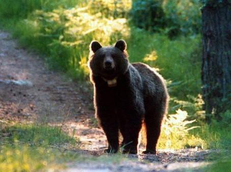 """Il Tar accoglie il ricorso contro l'ordinanza di abbattimento dell'orsa JJ4: """"scelta spropositata"""""""