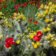 Poppie and Cactus Flowers