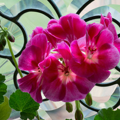 Geranium and Stained Glass Window