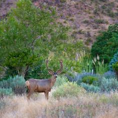 Deer at Home in the Redlands