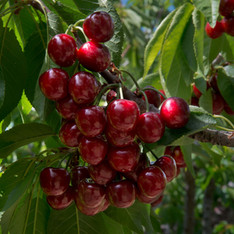 Palisade Cherries
