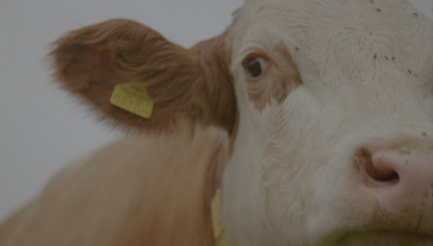 Cow farm Mainhausenerstrasse 2020