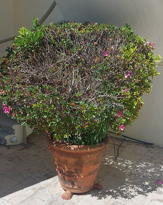 Mature Azalea-Rhododendron Plants in Clay Pots, 6 available