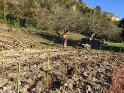 Plantation de la vigne