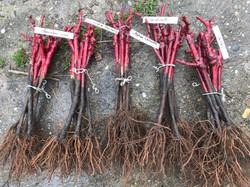 Porte greffe vignes résistants à la sécheresse