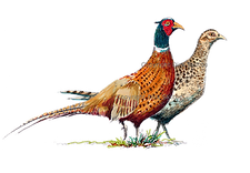 Brace of pheasants bespok shoot cards game cards original artwork
