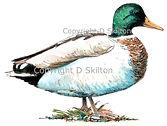 Standing mallard duck bespoke shoot cards original artwork