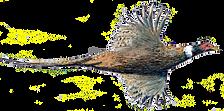 Cock pheasant in flight bespoke shot cards game cards game shooting