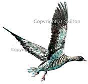 Goose pink foot colour copyright.jpeg