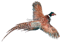 Cock pheasant in flight original artwork bespoke shoot cards game cards game shooting