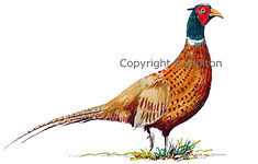pheasant duck and partridge original artwork