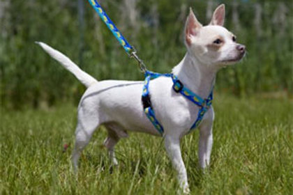 """Lupine 1/2"""" Roman Harness for Small Dogs"""