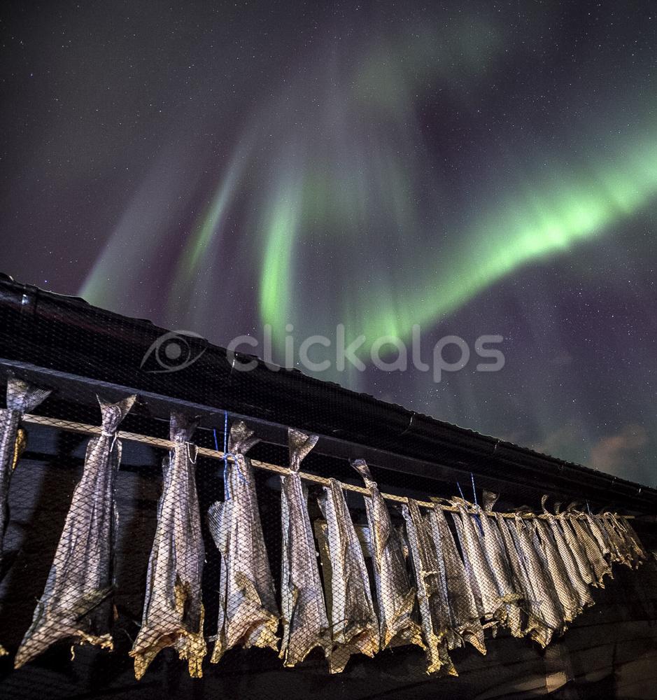 Norvegia-Lofoten_EssicazioneMerluzzi(Stoccafissi)ConAuroraBoreale205399