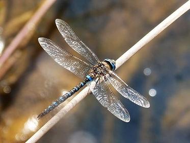 d4ragonfly.jpg
