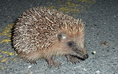 the village hedgehog.jpg