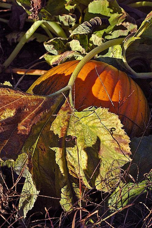 Green Pumpkin Leaf