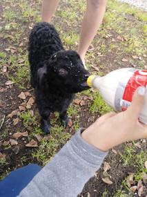 A Farm Animal Fun Member bottle feeding a baby Angora Goat.