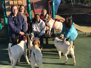 The Market Goat Project taking their animals for a stroll down to the neighborhood playground.