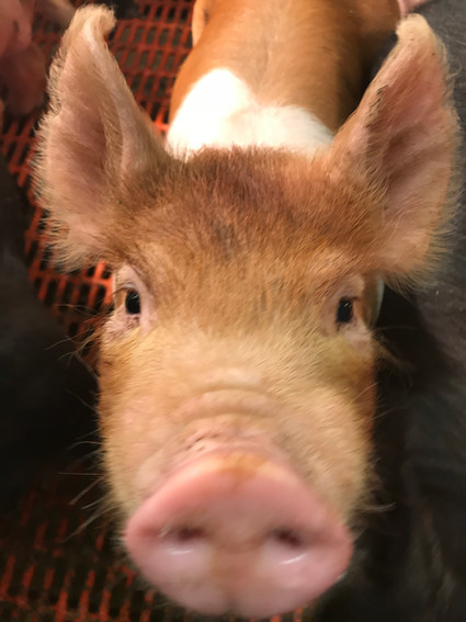 A month old pig that was seen on a field trip to a breeder.