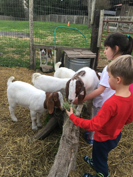 The Farm Animal Fun Project taking a fieldtrip to visit the club member's market animals at the community farm.
