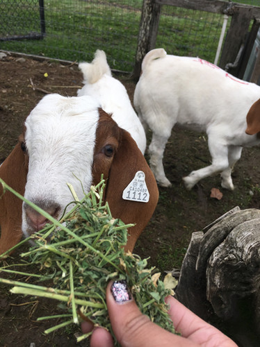 Peppermint Pancakes and Apollo (two of our 2017-2018 Market Goats)
