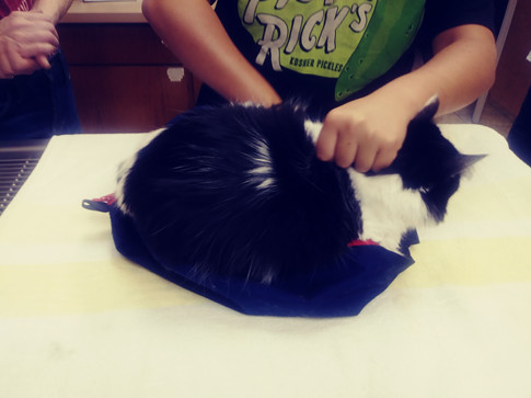 Advanced Veterinary Science Members practicing learning how to safely control a cat and place them into a cat bag.
