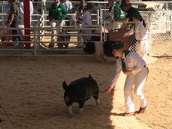 A Market Swine Member showing at the Contra Costa County Fair