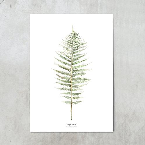 Athyriaceae   Tuinposter 300x420mm