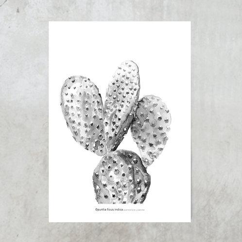 Opuntia ficus indica   Black & white