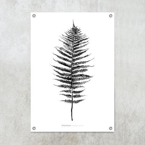 Athyriaceae black | Tuinposter 70x100 cm