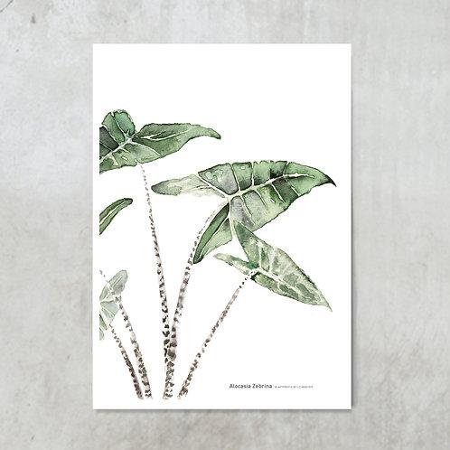 Alocasia Zebrina | Tuinposter 300x420mm
