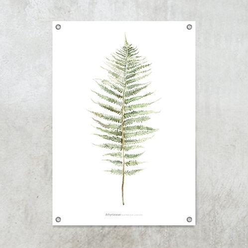 Athyriaceae  | Tuinposter 70x100 cm