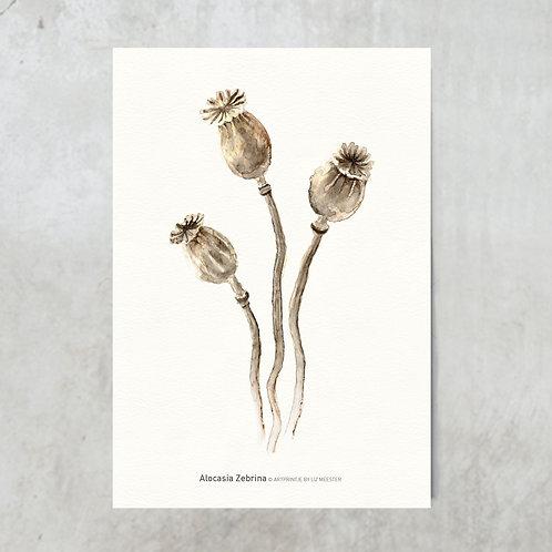 Dried poppy