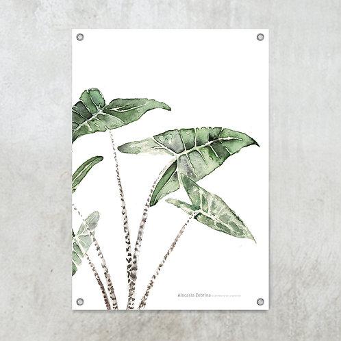 Alocasia Zebrina | Tuinposter 70x100 cm