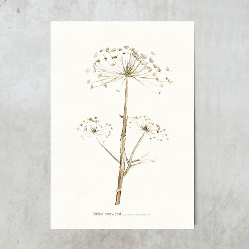 Dried hogweed | Bleached