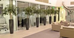 Braided Ficus Alii