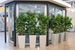 Ficus Bushes