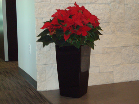 Some Info About Poinsettias